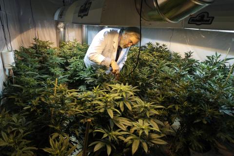 Laboratorio per la ricerca sull'utilizzo della cannabis per uso medico