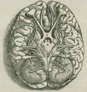 Incisione tratta dal libro di Fabrica di Andreas Vesalius del 1543